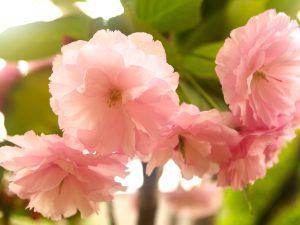 第十三回 桜の季節