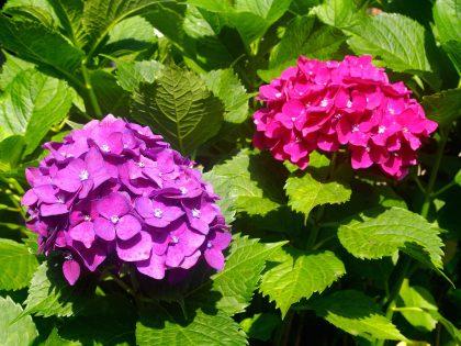第二十回 紫陽花(あじさい)の花と…