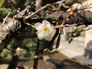 第三十一回 早咲きの梅