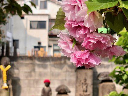 第五十五回 八重桜
