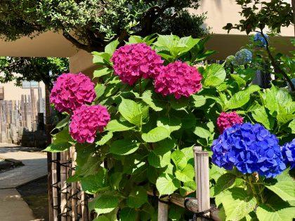 第五十八回 晴れの日の紫陽花