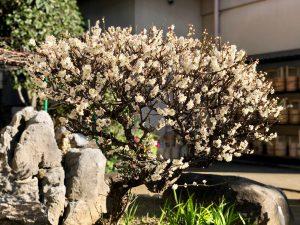 第六十七回 梅の花(令和二年)