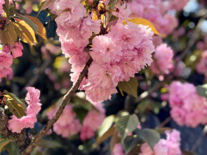 第六十九回 令和二年の八重桜