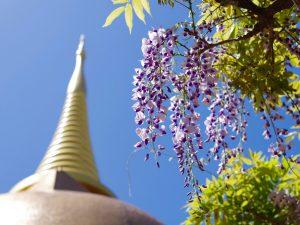 第九十一回 藤の開花と…