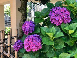第四十一回 紫陽花(あじさい)と梅の実