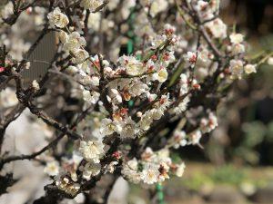 第五十二回 梅の花