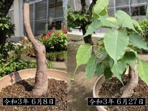 第九十五回 菩提樹の成長日誌